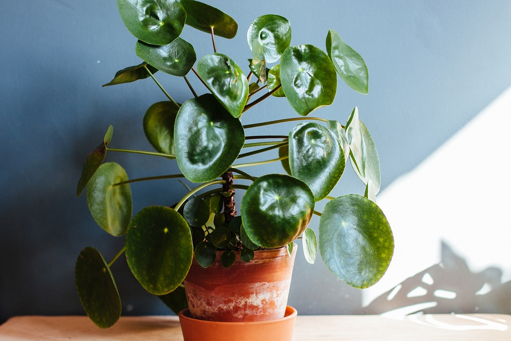 pilea peperomioides - how to keep your house plants alive