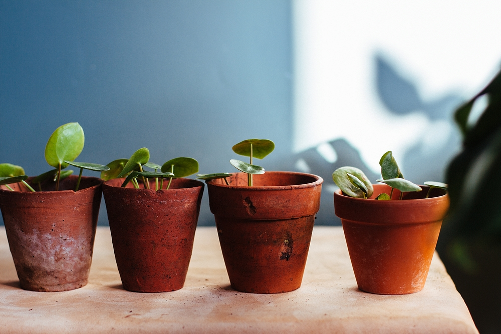 pilea babies - how to keep your houseplants alive