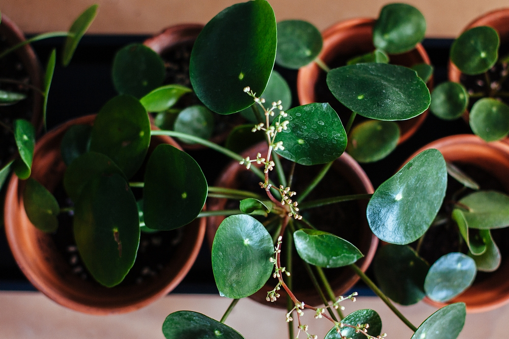 flowering pilea babies - how to keep your houseplants alive