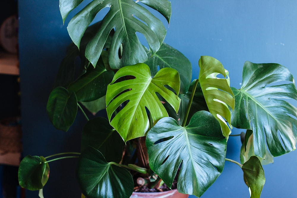 Monstera Deliciosa plant - How to Keep your houseplants alive